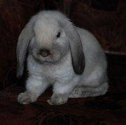 Продажа декоративных вислоухих крольчат!!!