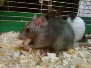 Отдам срочно крыс в хорошие руки!*