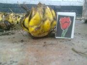 Луковица лилии по 3 грн.