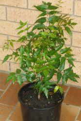 Ниим, Azadirachta indica,  мелия персидская