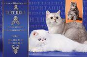 питомник кошек - персы,  экзоты,  шотланцы,  британцы