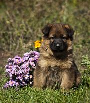 Очень красивый щенок немецкой овчарки