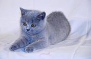 Продаются британские котята в Донецке