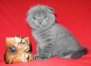 Котик шотландской породы голубого окраса.