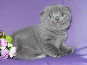 Голубого окраса котик шотландской породы.