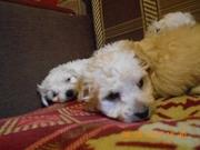Очаровательные щенки мальтийской болонки