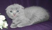 Вислоухая кошечка плюшевая шотландская.