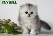 котенок персидской шиншиллы