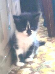 подарю или отдам маленького котенка, черно -белого цвета