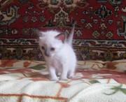 Продам чистокровного сиамского (тайского) котенка