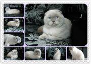 Скоттиш фолд кот окрас колорпоинт для вязки