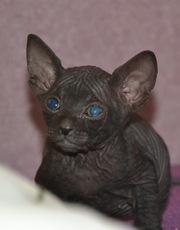 Котята донского сфинкса.
