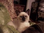очаровательные сиамские котята ждут своих хозяев