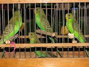 Продам молодых волнистых попугаев.