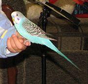Продам говорящего волнистого попугая