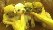 Чихуахуа щенки с родословными КСУ