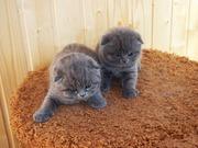 Шотландские вислоухие котята голубой  окрас