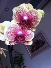 Продам орхидеи-фаленопсис