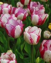 Тюльпаны оптом к 8 марта и 14 февраля