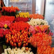 продам голландский тюльпан на 8 марта оптом и в розницу. цветы