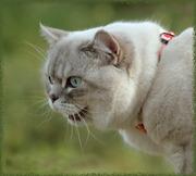 Шотландский страйт для Вашей кошечки- вислоушки