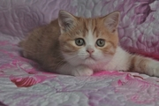 Шотландские котята различных окрасов