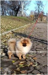 Померанский  шпиц  щенки девченка , кобель для вязки.