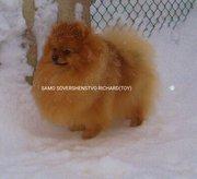 Померанский шпиц щенок девченка, есть кобель для вязки.