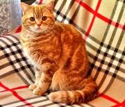 Чистокровные шотландские коты