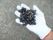 Саженцы высокоурожайной черной смородины